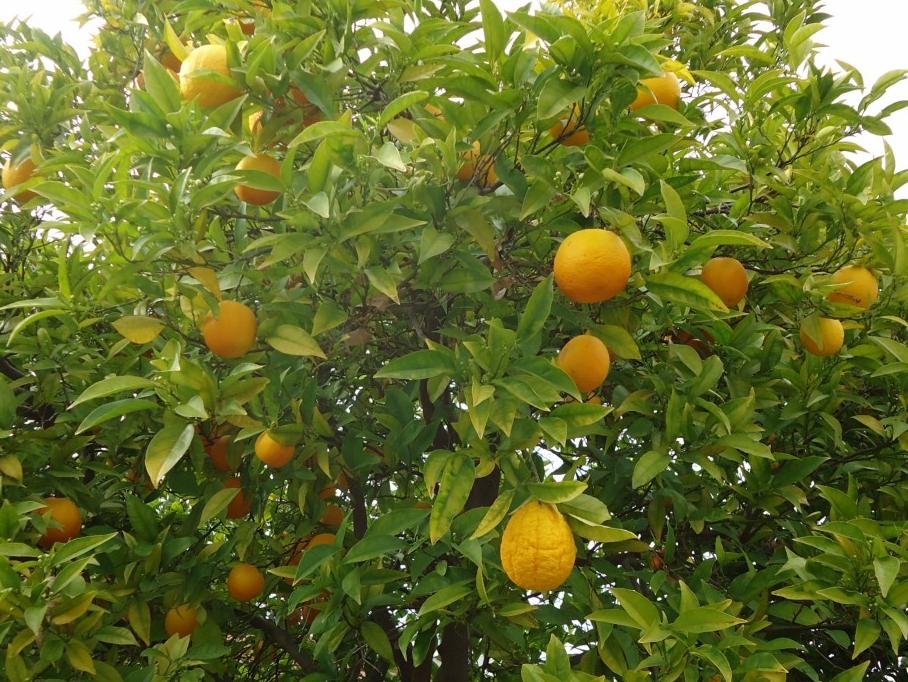 appelsínutré