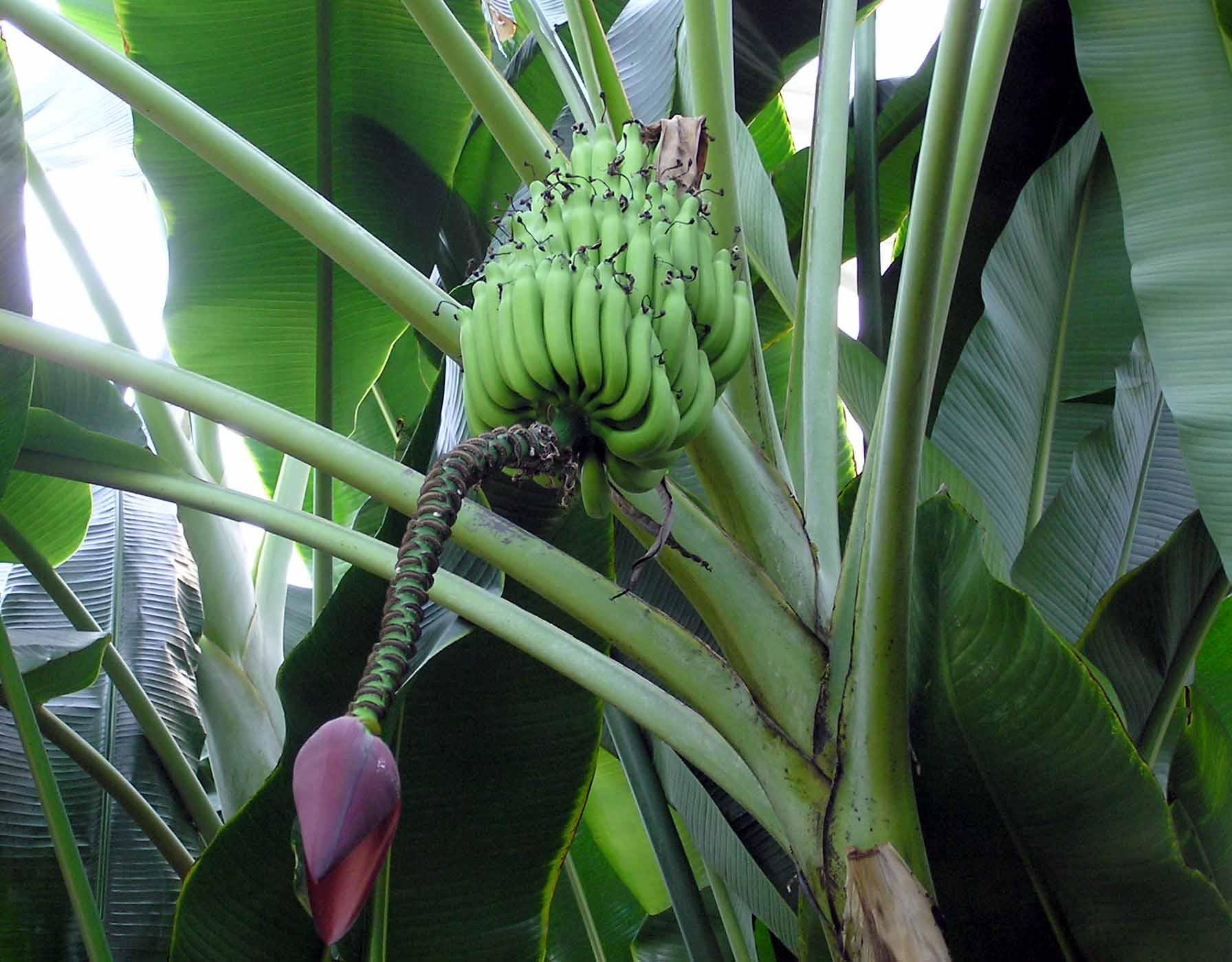 bananatré