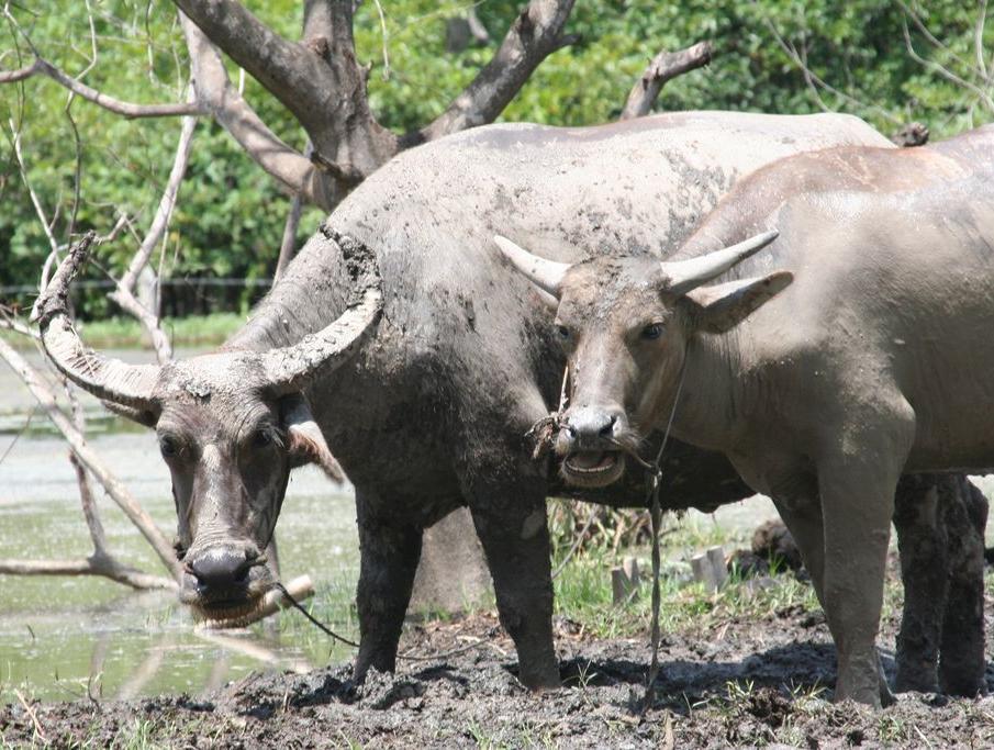 buffall