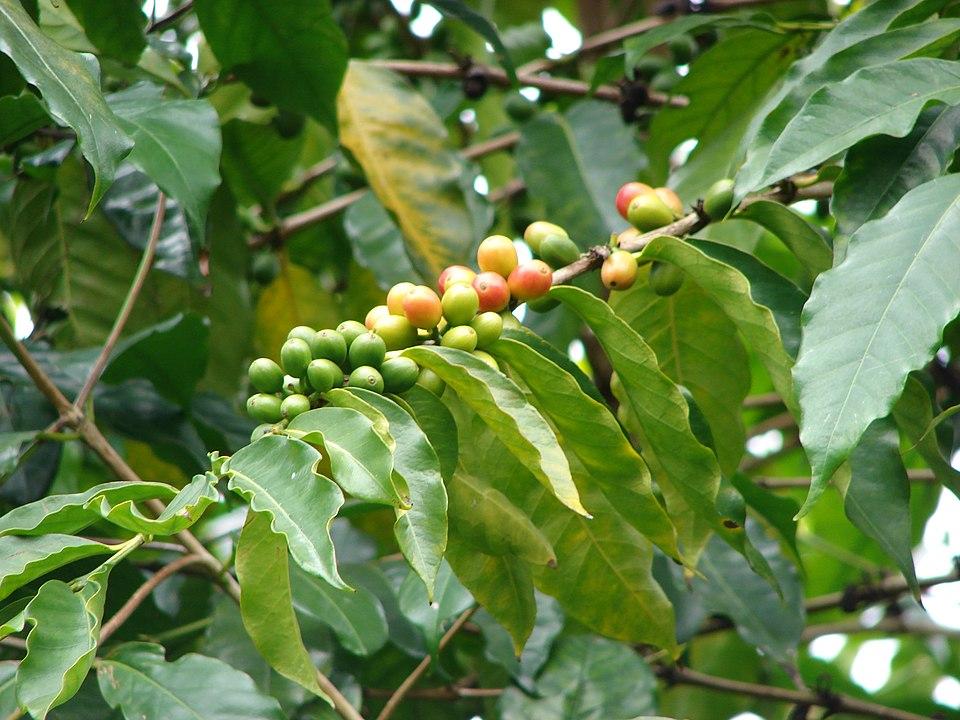 kaffiplanta