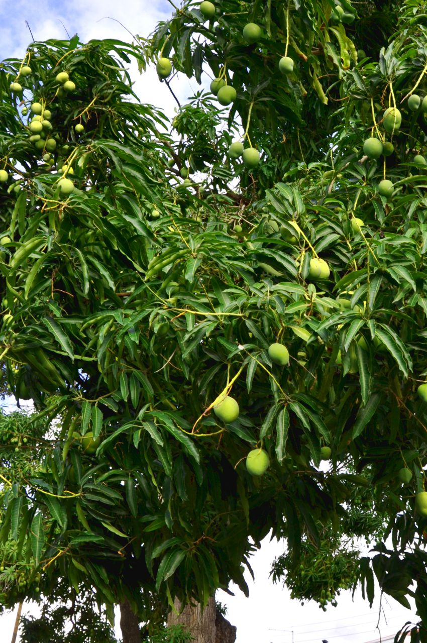mangótré