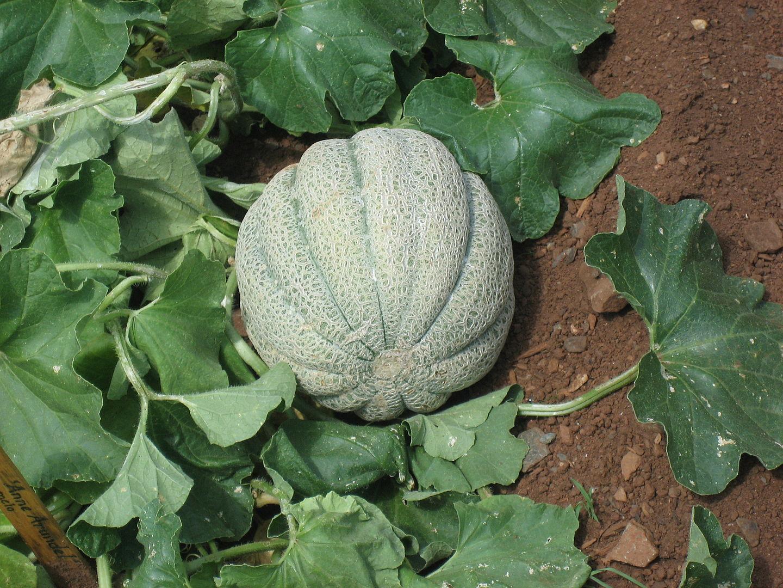 melónuplanta