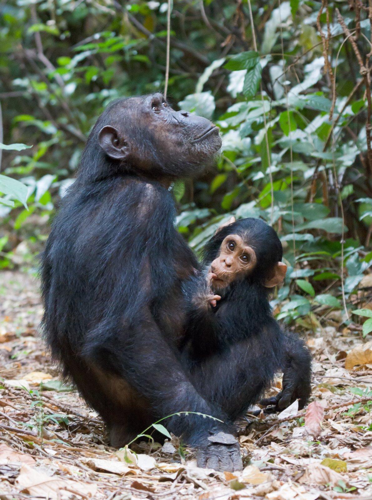 simpansi