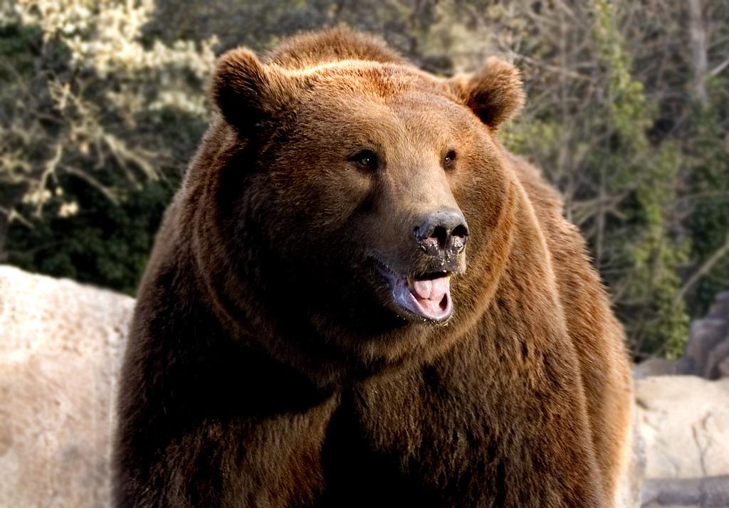 skógarbjörn