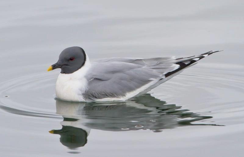 þernumávur